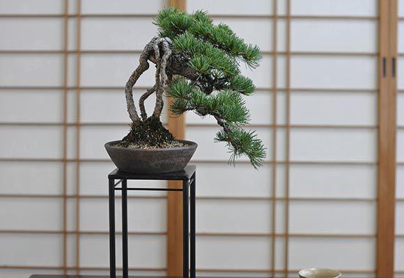 盆栽 芸術 根上りの懸崖五葉松【ミニ盆栽 盆栽 bonsai bonsai ぼんさい ごようまつ 高級 ギフト 至高 芸術 職人 松盆栽】, ベクトル リポイント:2416582a --- sunward.msk.ru