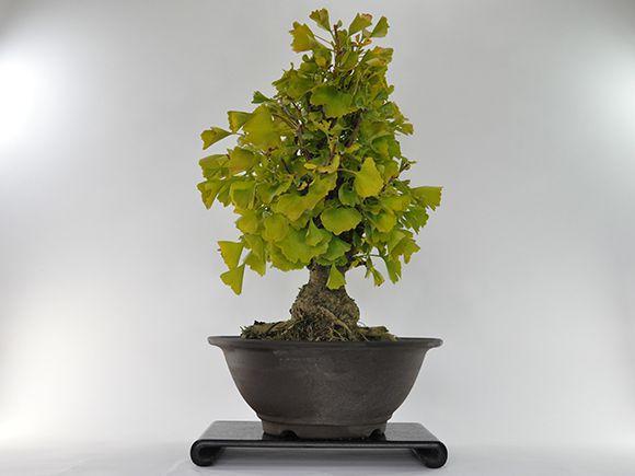 盆栽 イチョウの大木【大品盆栽 bonsai ぼんさい 銀杏 大品 貴風 大型 迫力 大きい 街路樹 黄葉】
