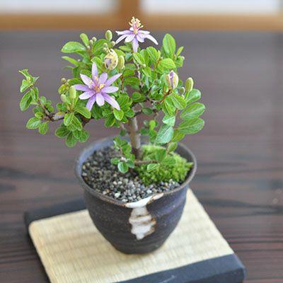 花の咲く盆栽 睡蓮木とはじめて道具セット 長く花を楽しめて育てやすい盆栽 すいれんぼく 花盆栽