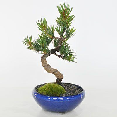 盆栽 五葉松とはじめて道具セット かっこいい松 育てやすい五葉松の盆栽 万古焼きの陶器鉢 職人仕立て