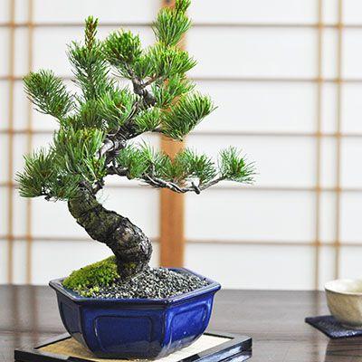 盆栽 五葉松とはじめて道具セット 盆栽の贈り物 迫力のある立派な五葉松の盆栽 瀬戸焼の陶器鉢 職人仕立て