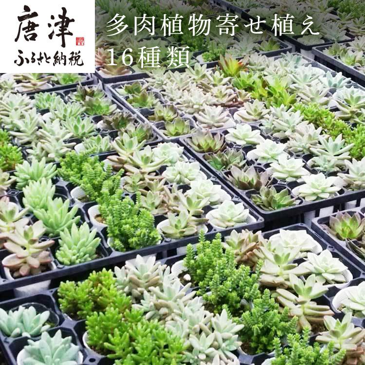 16種類の多肉植物をお届けいたします メイルオーダー ふるさと納税 手数料無料 多肉植物寄せ植え16種類おまかせセット