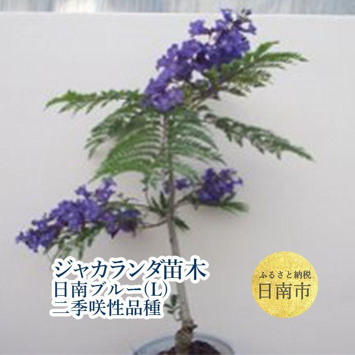 【ふるさと納税】 ジャカランダの苗木・日南ブルー(L)二季咲性品種