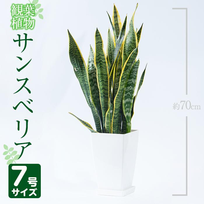 【ふるさと納税】サンスベリア・ローレンティー7号サイズ(約70cm)南国鹿児島で育った観葉植物【GreenBase】【1067984】