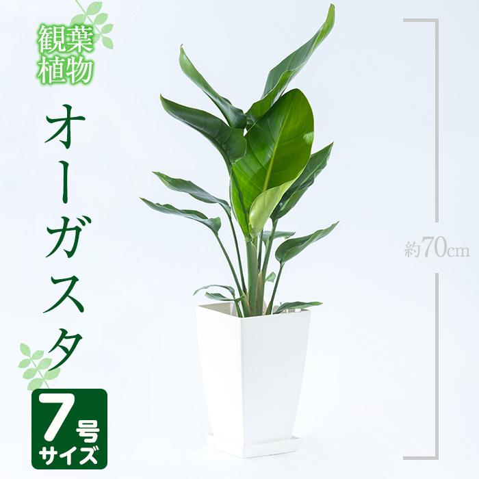 【ふるさと納税】オーガスタ7号サイズ(約70cm)南国鹿児島で育った観葉植物!【GreenBaseN】【1067986】, こだわりのキッチンツール ATJ:bf7c456d --- vidaperpetua.com.br