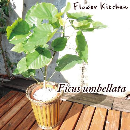 水やり少なめ&手入れいらずな育てやすい鉢植え・観葉植物を教えて!(ポインセチア以外で)