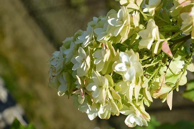 紅葉も楽しめるアジサイ 2020 新作 開花☆カシワバアジサイ鉢植え カシワバアジサイ 白い八重の装飾花を円すい形にまとめて咲かせますカシワバアジサイに良く合う白い陶器鉢入り 卸直営
