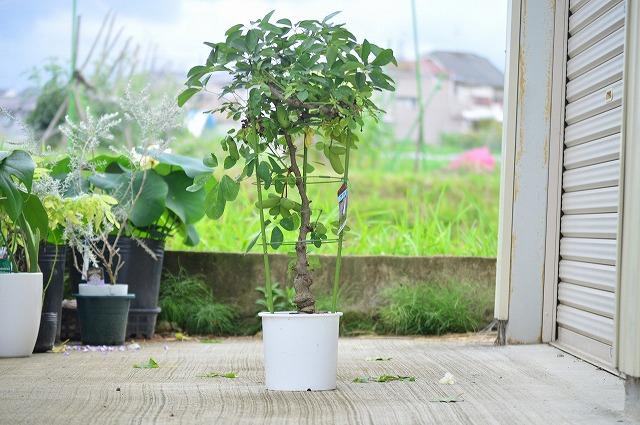 庭がなくても育てれます鉢植え地植えに 2021年実付きアケビ 食べる鉢植え プラ鉢 あけび 果実 正規品 果樹 楽しみ育てる鉢植え 国内正規品 五葉あけびの鉢植え 見てよし食べてよし