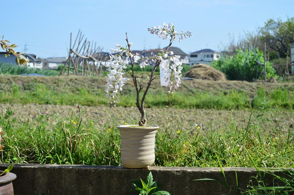 【藤鉢植え】2020年春開花 綺麗にしだれた白花藤  信楽鉢入【鉢植】