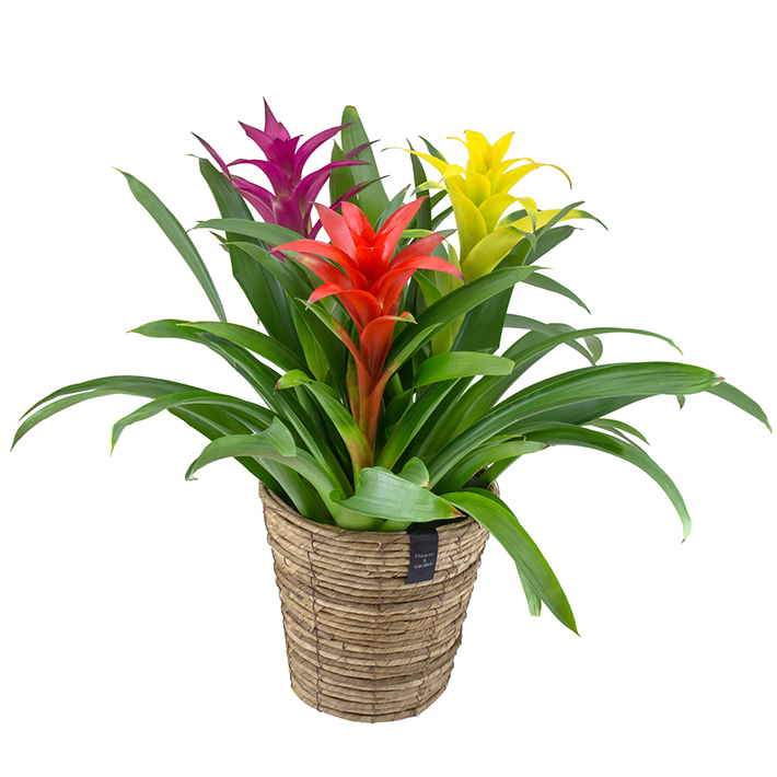 バナナメイズバスケット グズマニア 3F ギフト ブロメリア 贈り物 超特価 プレゼント 植物 激安価格と即納で通信販売 贈答 花 観葉植物 鉢花