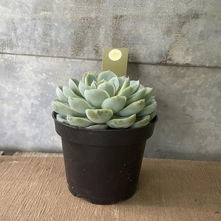 多肉植物エケベリア属 エレガンス 3.5 初売り 号 セール品