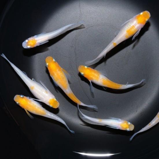 メダカ 生体 小町 人気ブランド多数対象 稚魚10匹 新作 種類 送料無料 めだか