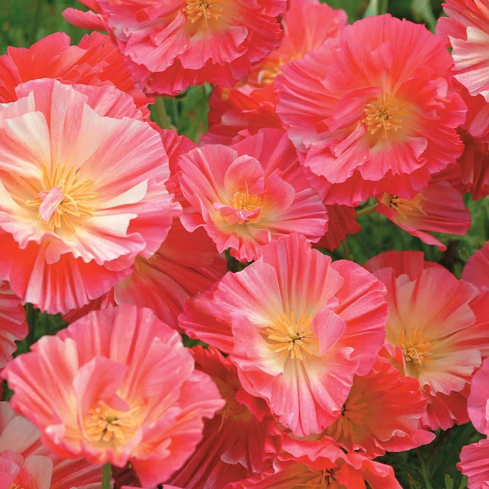 楽天市場】【輸入種子】Thompson & Morgan Californian Poppy Summer ...