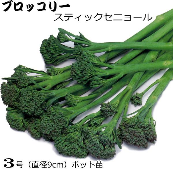 激安挑戦中 ランキング総合1位 茎が柔らか 甘くて美味しい 茎ブロッコリー スティックセニョール 9cmポット苗