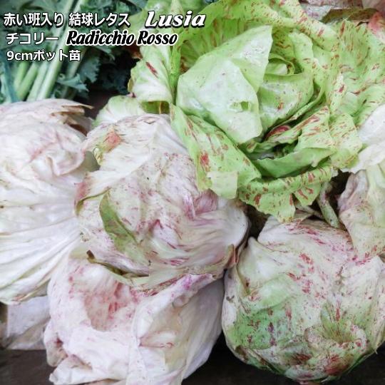 発売モデル 激安通販ショッピング イタリア漁村キオッジャが発祥の品種 リーフチコリー Lusia 9cmポット苗 輸入種 ルシア
