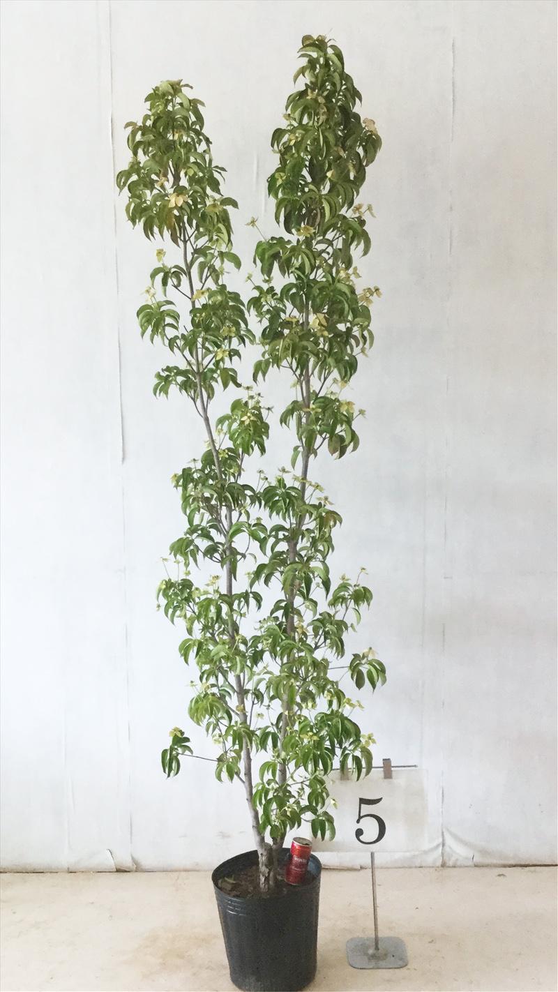 【現品発送】常緑ヤマボウシ月光 株立 NO5高さ約2.1mシンボルツリー、常緑樹、花木