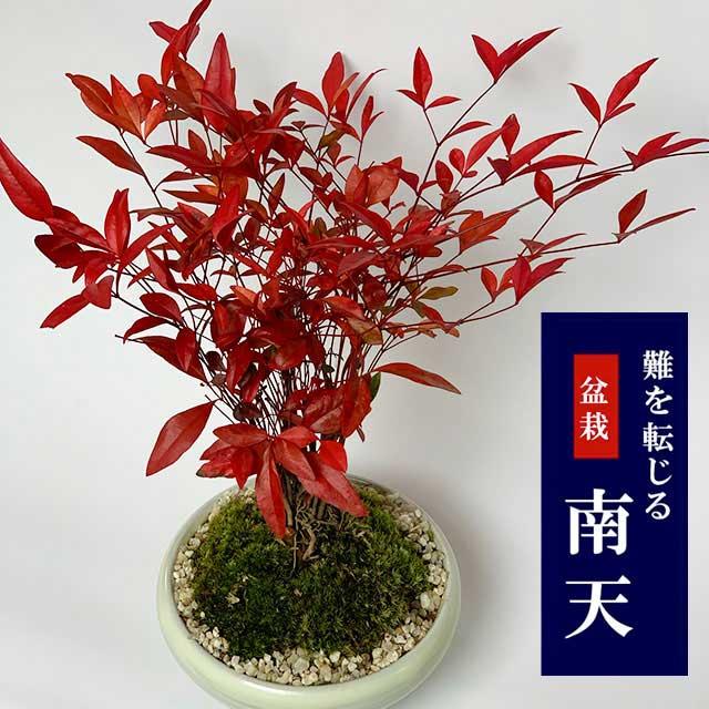 難を転ずる 縁起の樹 春から夏には緑色の新葉が秋からは真っ赤な葉 縁起物 ギフト 贈り物 観葉植物 盆栽 南天(なんてん)の盆栽(万古焼白陶器鉢) 風水