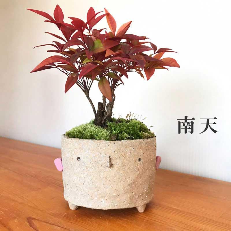 難を転ずるといわれ、縁起物として昔からお正月などに使われている南天の盆栽です。真山茜さんのかわいいとり鉢に植えこみました。 贈り物におすすめ! 盆栽 南天 ナンテン 炭化焼締 トリ 鉢 作家 真山茜 益子 難を転ずる 縁起物 紅葉 植木 nanten なんてん 紅葉する四季常緑 鉢植え 紅葉を楽しむ 育て方のしおり付 お手入れ相談 電話 メールサポート
