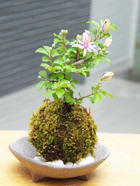 コケダマ 観葉植物 育て方のしおり付 お手入れ相談 電話 メールサポート 【現在花なし】苔玉  毎年5月から夏ごろに美しい花が楽しめる 睡蓮木(スイレンボク)の苔玉・三つ足灰器セット