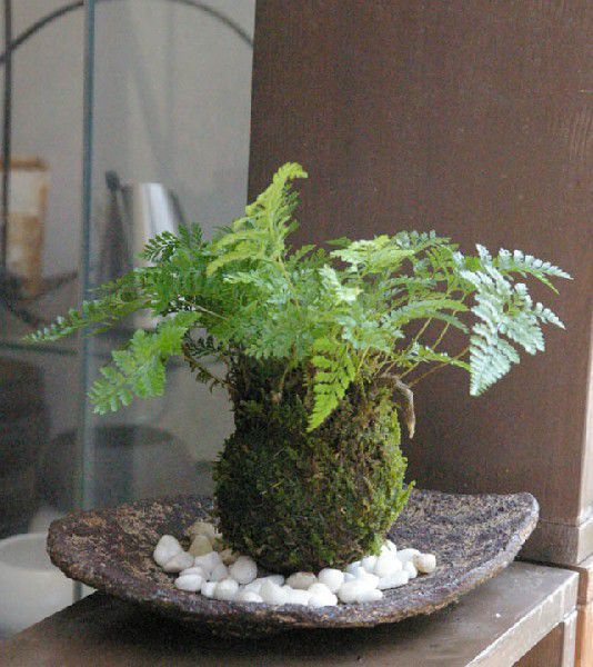 コケダマ 観葉植物 育て方のしおり付 お手入れ相談 電話 メールサポート 苔玉 涼しげな葉が魅力 シダ植物 シノブの苔玉 くらま岩器 敷石つき くらま岩 風合い 器セット 敷石つき