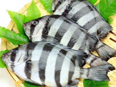 【鮮魚】石鯛〈イシダイ〉1匹、1Kg前後