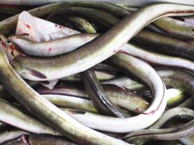 【鮮魚】穴子〈アナゴ〉S1Kg前後、6~9匹前後