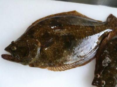 【鮮魚】養殖平目〈ヒラメ〉1匹、1Kg前後