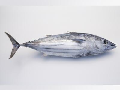 【鮮魚】秋鰹〈カツオ〉1匹、3Kg~4Kg前後