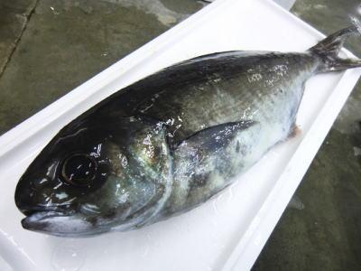 【鮮魚】目鯛〈メダイ〉1匹、4Kg前後