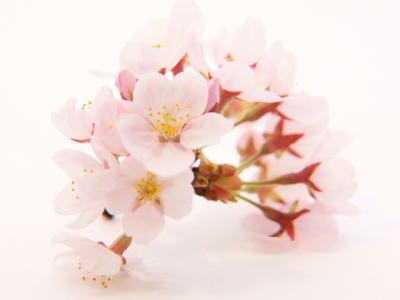 桜の花〈サクラノハナ〉1ケース、25パック前後、1Kg~2Kg前後