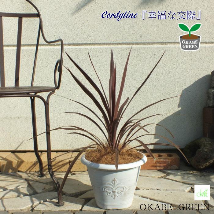 コルジリネ レッドスター コルディリネ 8号 自社配合土で植え替え ヤシか木チップ選べる 観葉植物 インテリア ガーデングリーン おしゃれ 素敵 地植え 鉢植え 庭 ガーデン 外用 送料無料