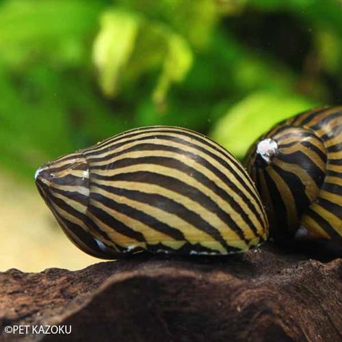 シマ模様が美しい巻貝 シマカノコ貝 1匹 卸売り 2~3cm程度 貝 アクアリウム 苔取り ペット コケ取り 高級 カイ