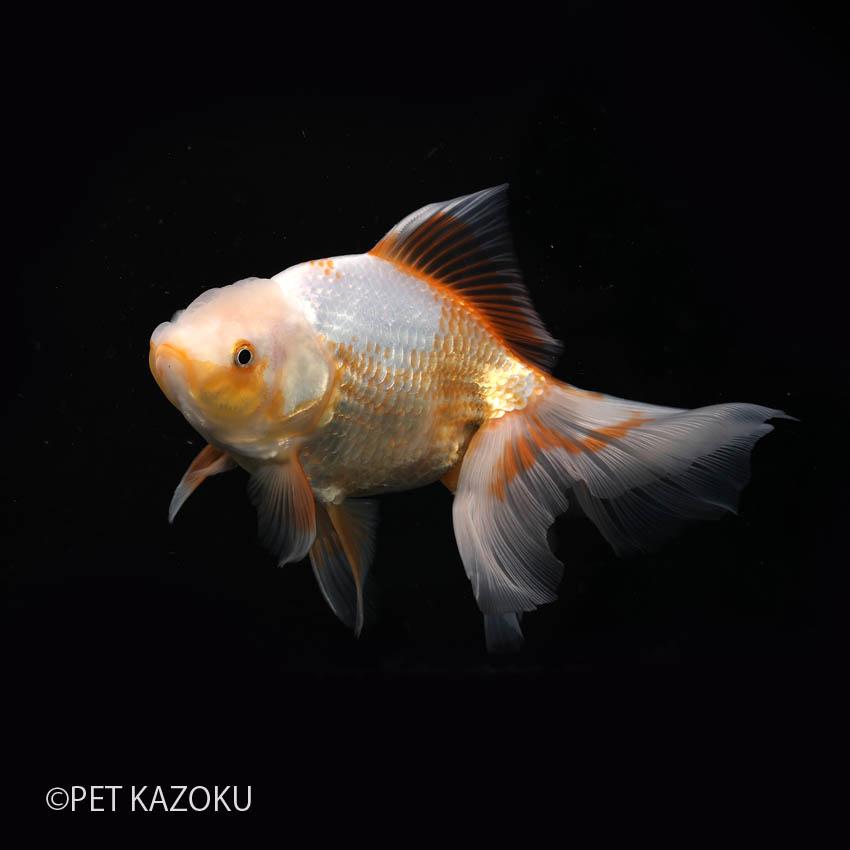 日本オランダ (サラサ鹿の子) (浜松/袴田) 二歳上物 1匹 観賞魚 魚 アクアリウム 金魚 ペット