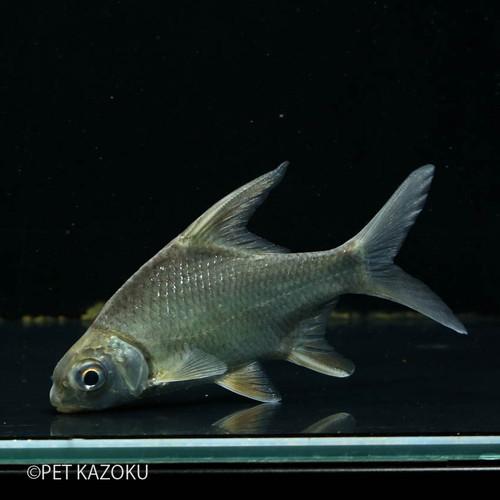 体高が高くヒレが長いのが特徴的な独特なフォルムのバルブです。 スーパーハイフィンバルブ (KHONG RIVER) (ML) 1匹 ワイルド コイの仲間 観賞魚 魚 アクアリウム 熱帯魚 ペット