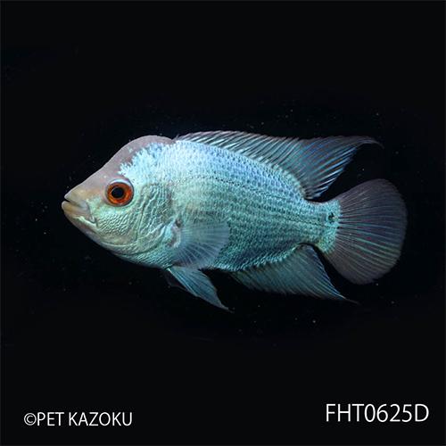 """フラワーホーン """"Big Head THAI SILK"""" (M) Aグレード FHT0625D 1匹 観賞魚 魚 アクアリウム 熱帯魚 フラワホーン ペット タイシルク"""
