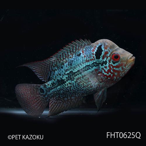 """フラワーホーン """"Big Head THAI SILK"""" スーパーキングカムファ レッド (SM) FHT0625Q 1匹 観賞魚 魚 アクアリウム 熱帯魚 フラワーホーン ペット タイシルク"""