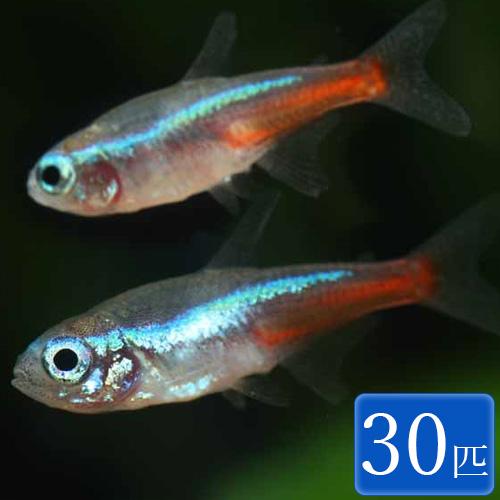 初心者にもおすすめ ネオンテトラ30匹セット ネオンテトラ SM 30匹 特価 1.5~2cm程度 セット 観賞魚 スターターフィッシュ 魚 パイロットフィッシュ ペット カラシン 熱帯魚 アクアリウム 新品未使用