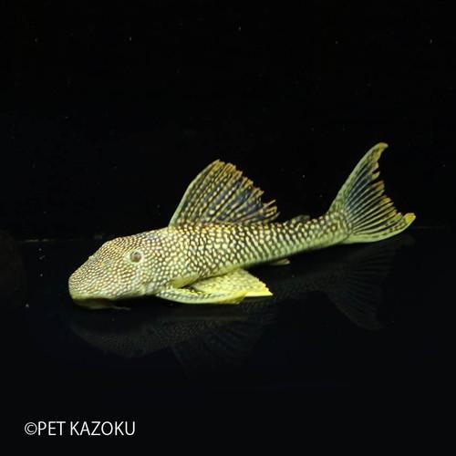 ゴールドエッジマグナムプレコ (XL) (サンフェリックスリックス) 1匹 ブラジル プレコ 観賞魚 魚 アクアリウム 熱帯魚 ペット
