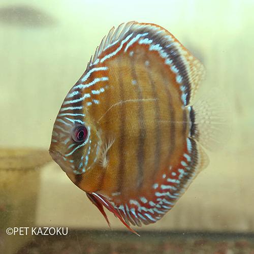 レッドディスカス・ソリッド (ニャムンダ) (L) 1匹 観賞魚 魚 シクリッド アクアリウム 熱帯魚 アメリカンシクリッド ペット マナウス ワイルド