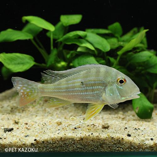 ゲオファーガス・アルティフロンス(リオプレト)(ML)(11~13cm程度) 1匹 観賞魚 魚 アクアリウム 熱帯魚 ペット 水草水槽