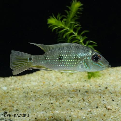 大きな背びれが優雅です サタノペルカ アクティケプス タパジョス 1匹 期間限定で特別価格 5~8cm程度 観賞魚 アメリカンシクリッド 熱帯魚 飼育 美品 魚 ペット アクアリウム 水槽