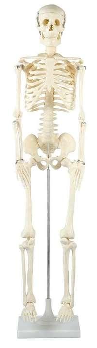 △人体骨格模型 85cm アーテック ARTEC