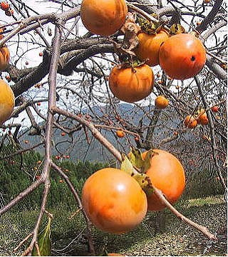 Approximately 900 g of persimmons (flat seedless persimmon) of special cultivation Kikui ※Normal temperature delivery