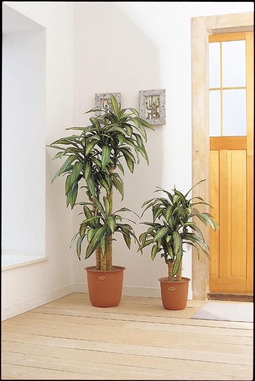観葉植物 大型 ピュアメイト 幸福の木 180cm 山崎産業 ED005-180X-MB
