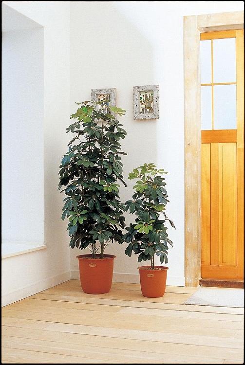 観葉植物 大型 ピュアメイト カポック 180cm 山崎産業 ED008-180X-MB