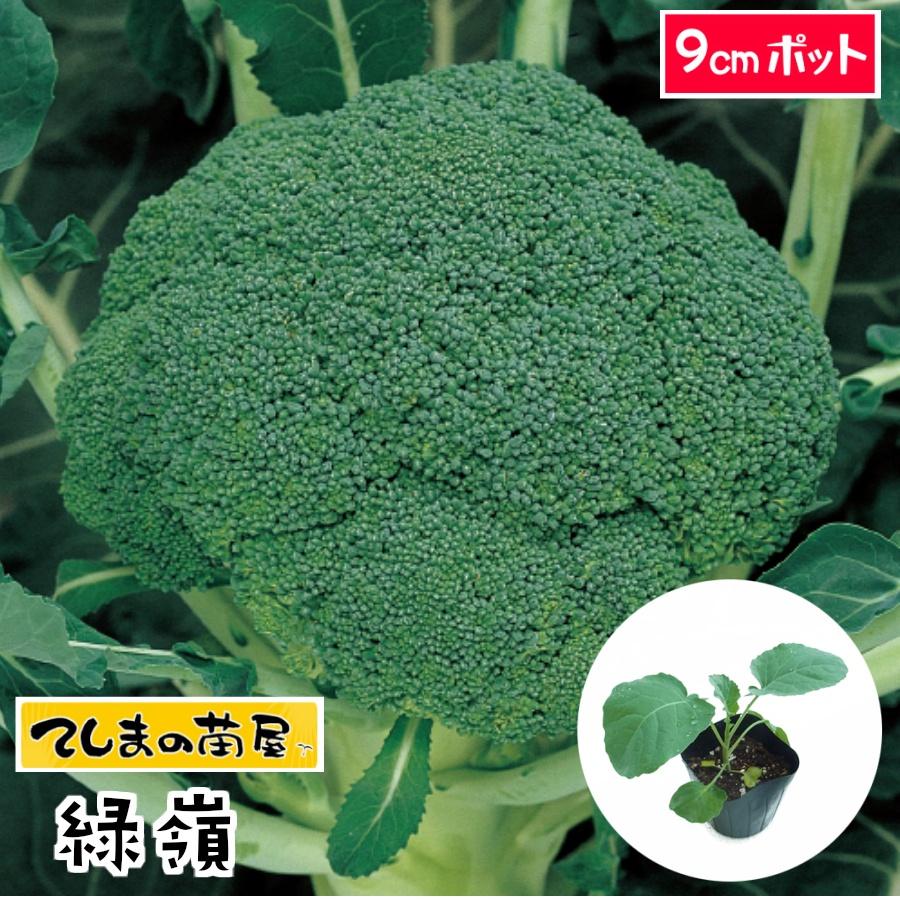 品質が優れる定番品種 てしまの苗 ブロッコリー苗 緑嶺 9cmポット 種 葉菜苗 爆買いセール 人気 培土 売り出し
