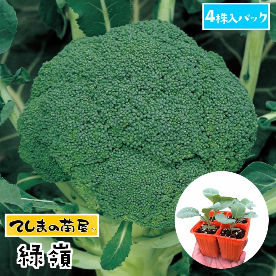 品質が優れる定番品種 てしまの苗 ブロッコリー苗 緑嶺 4株入りパック 秀逸 人気 葉菜苗 培土 種 大好評です