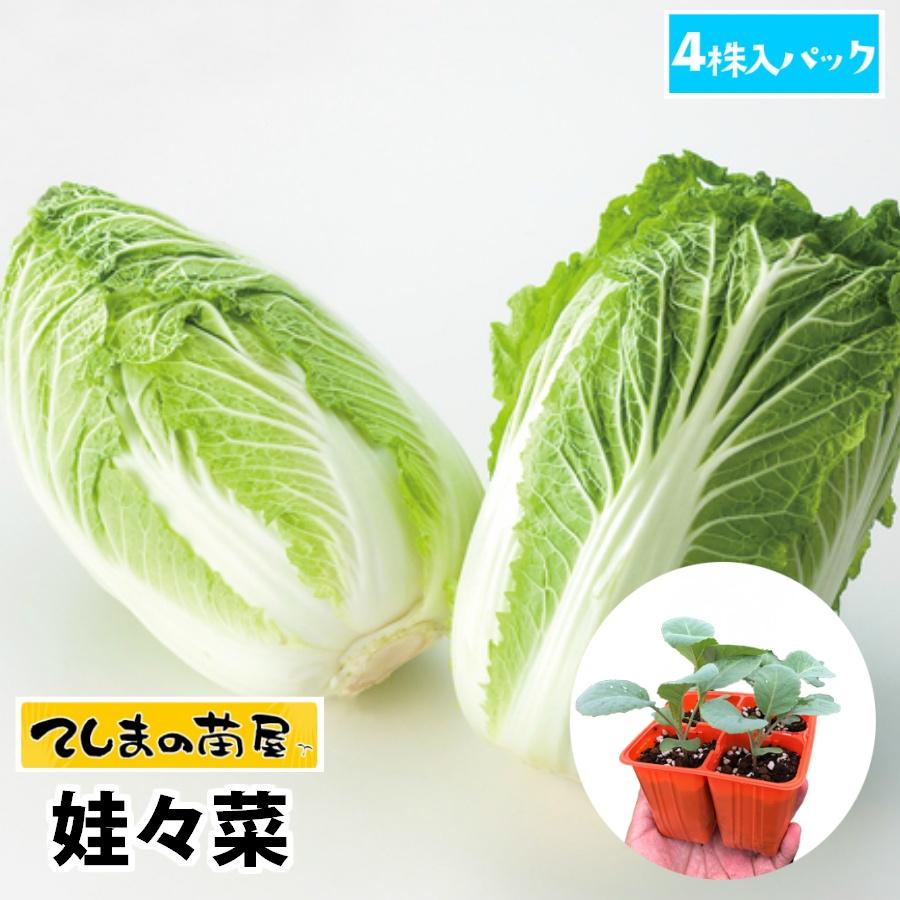 安全 甘みと旨味が凝縮 てしまの苗 2020モデル ミニハクサイ苗 娃々菜 4株入りパック 人気 培土 種 白菜 葉菜苗