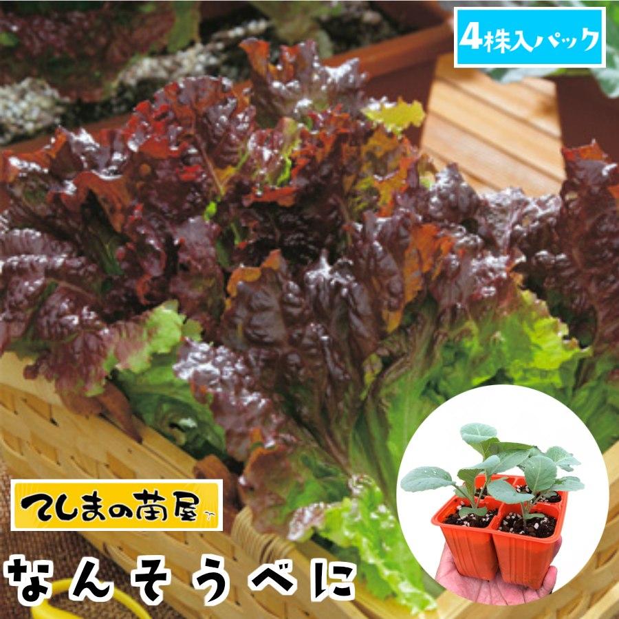 極濃赤色で扇型 情熱セール てしまの苗 リーフレタス苗 なんそうべに 4株入りパック 人気 培土 葉菜苗 予約 種