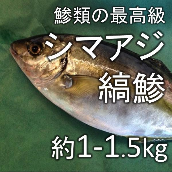 縞鯵 シマアジ(豊洲直送)約1-1.5kg 熊本産他【シマアジ1-1.5K】 冷蔵